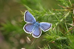 Silver Studded Blue Male upperside (Stephen Lewis)