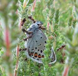 Silver-studded Blue Emerging Male underside (Lucy Lewis)