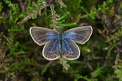 Silver-studded Blue Female upperside (Lucy Lewis)