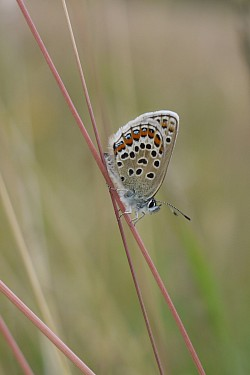 Silver-studded Blue Female underside (Lucy Lewis)