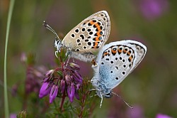 Silver-studded Blue Mating Pair (Stephen Lewis)